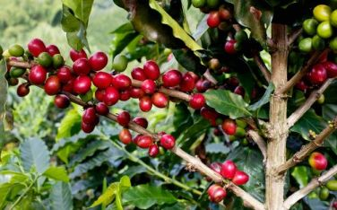 planta_cafe_colombia.JPG_33443971